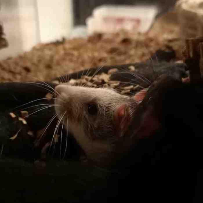 Terbukti Ampuh, BeginiCara Mengusir Tikus dari Rumah
