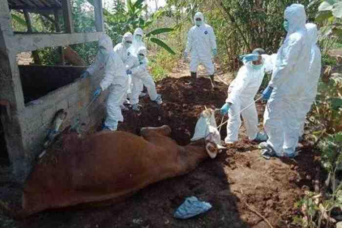 Heboh Virus Corona, Di Gunung Kidul 30 Warga Positif Terserang Virus Antraks