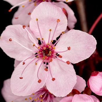 Prunus cerasifera var. atropurpurea