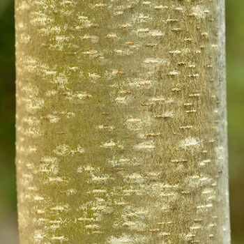 Platanus hispanica
