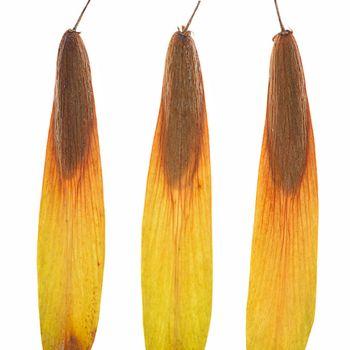 Fraxinus ornus