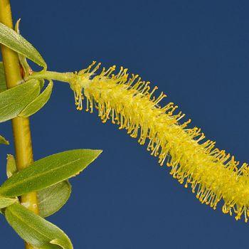 Salix fragilis