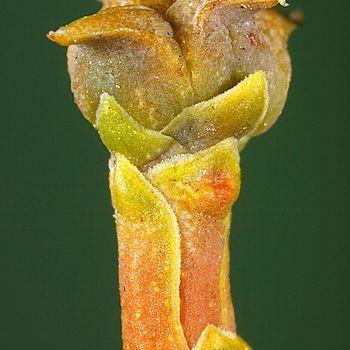Tetraclinis articulata