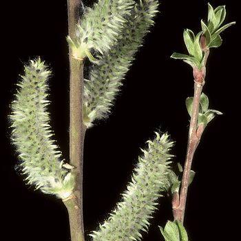 Salix atrocinerea