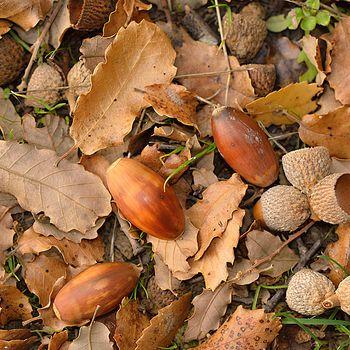 Quercus faginea