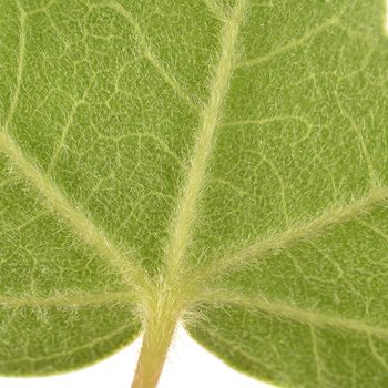 Acer granatense