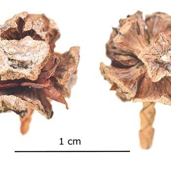 Chamaecyparis