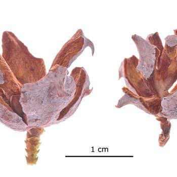 Platycladus