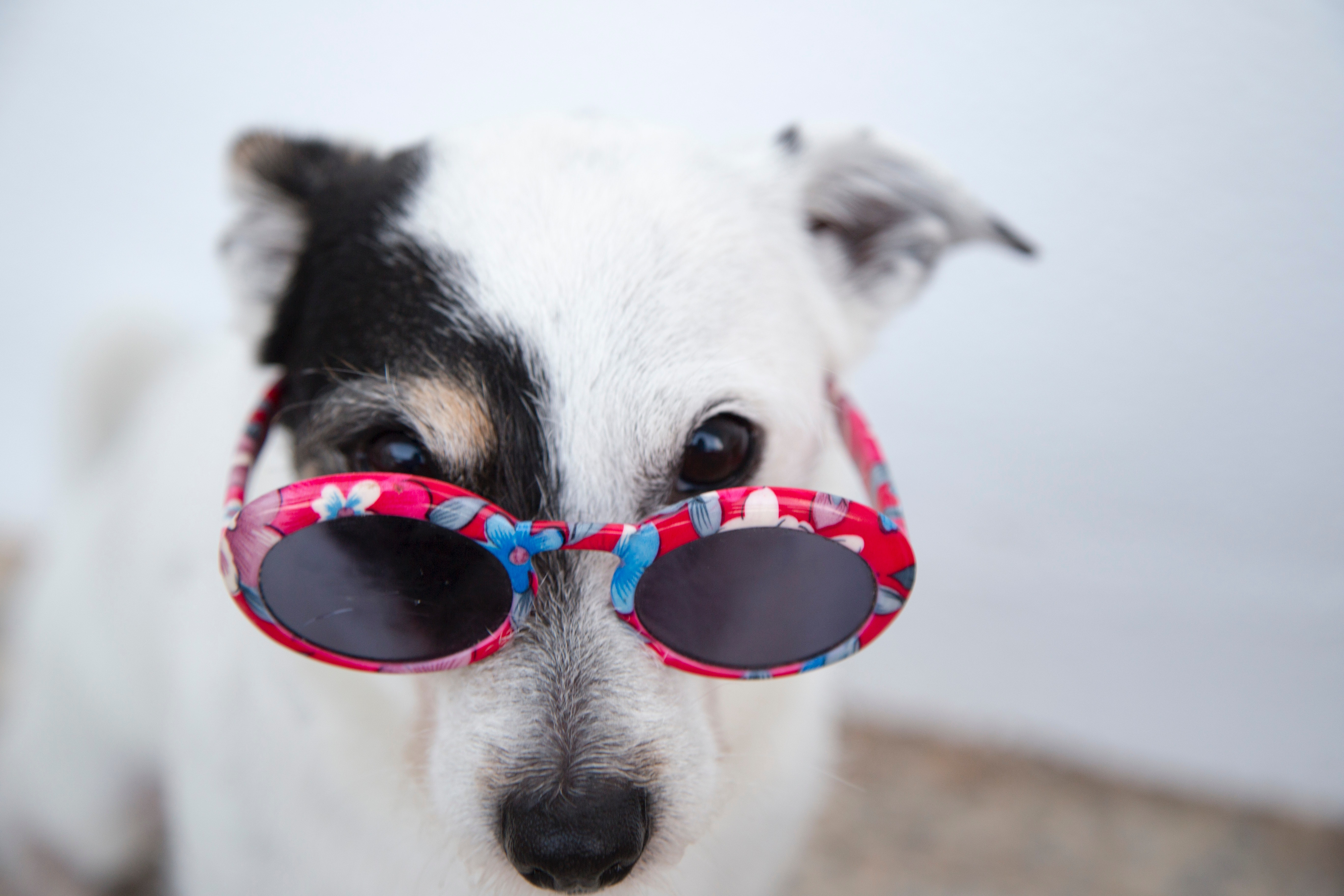 Jack Russel Terrier with sunglasses.
