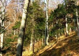 Rezerwat przyrody Cisy na Górze Jawor - Ciśniańsko-Wetliński Park Krajobrazowy