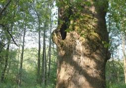 Rezerwat przyrody Cisy w Serednicy